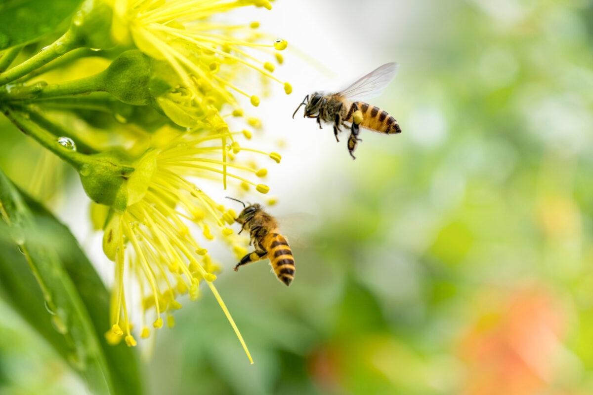 Pszczoły, które zagrożone sa wyginięciem